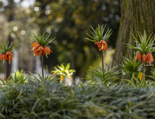 La corona imperial – Fritillaria imperialis L. del Palacio Topkapi